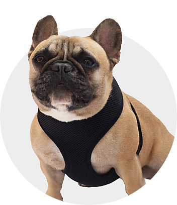 Dog With Black Harness