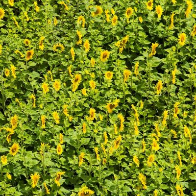 Sunflowers. Diversity exports.