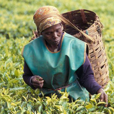 Woman working in tea field.